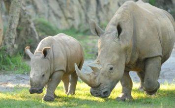 Disney animal γεννήθηκε λευκός ρινόκερος