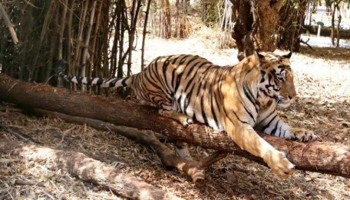 συνεργασία kenzo - WWF προστασία τίγρεων